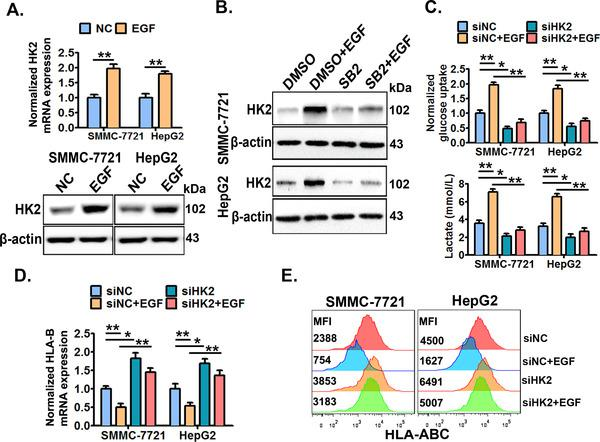 HK2 mediates the EGFR‐P38 MAPK axis‐enhanced aerobic glycolysis and HLA‐ABC down‐regulation . (A) SMMC‐7721 and HepG2 cells were treated with or without EGF (20 ng/mL) for 24 h, and then the cellular HK2 expression was detected by qRT‐PCR and Western blotting. (B) Cells were pre‐treated with SB203580 (10 μmol/L) or DMSO for 6 h, and then stimulated with or without EGF (20 ng/mL) for an additional 24 h, next the cellular HK2 expression was detected by Western blotting. Cells were pre‐transfected with HK2‐specific siRNAs (siHK2) or control siRNAs (siNC) for 24 h, and then treated with or without EGF (20 ng/mL) for an additional 24 h. Next, the cellular glucose uptake and lactate production were detected (C), the cellular HLA‐B mRNA expression was detected by qRT‐PCR (D), and the cell surface HLA‐ABC protein expression was detected by flow cytometry (E). * P ≤ 0.05, ** P ≤ 0.01, *** P ≤ 0.001. Abbreviations: EGFR, epidermal growth factor receptor; EGF, epidermal growth factor; HLA‐ABC, human leukocyte antigen class‐A, B, C; MAPK, mitogen‐activated protein kinase; DMSO, dimethylsulfoxide; HK2, hexokinase‐2.