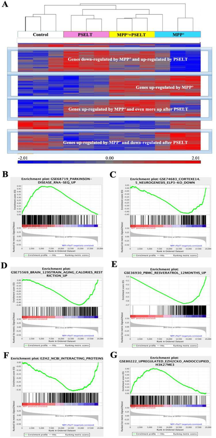 PSELT effect on gene expression levels in SH-SY5Y cells correlates with different gene sets. A: Unsupervised clustering based on gene expression profiling of the different experimental conditions indicated under the dendrogram ( n = 3 per condition). Genes with a relatively higher level of expression are shown in red, and those with a lower level are shown in blue according to the color scale at the bottom. B: Gene set enrichment analysis of a ranked list of all genes comparing MPP + and PSELT treatment versus MPP + with those up-regulated in Parkinson's disease ( p value = 0, enrichment score = 1.15). Genes up-regulated in Parkinson's disease positively correlate with genes up-regulated by MPP + and down-regulated by PSELT. Data were taken from GSE68719_Parkinson disease [ 36 ] or from GSE78757_Gaucher disease, GSE20292_Parkinson substantia nigra and GSE9397_Parkinson MSN [ [36] , [61] , [62] ] in supplementary Fig.S1A . C: Gene set enrichment analysis of a ranked list of all genes comparing MPP + and PSELT treatment versus MPP + with those down-regulated in cortical neurogenesis ( p value = 0, enrichment score = −1.29). Genes down-regulated during impaired corticogenesis correlate with genes up-regulated by PSELT. Data were taken from GSE74683_Cortex_Neurogenesis (ELP3 knockout) [ 63 ] or from GSE 42904_HIPPO [ 64 ], GSE8425_RASGRF1 KO [ 65 ] and the orphan nuclear receptor TLX targets [ 66 ] in supplementary Fig.S1B . D: Gene set enrichment analysis of a ranked list of all genes comparing MPP + and PSELT treatment versus MPP + with those up-regulated during caloric restriction ( p value = 0, FDR = 0, enrichment score = 1.30). Genes that are up-regulated by caloric restriction are also up-regulated by PSELT. Data were taken from GSE75569 [ 67 ]. E: Gene set enrichment analysis of a ranked list of all genes comparing MPP + and PSELT treatment versus MPP + with those up-regulated by resveratrol ( p value = 0, enrichment score = 1.23). Genes that are up-regulated by 