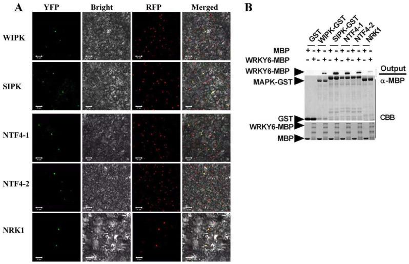The interactions between NtWRKY6 and five tobacco MAPKs, wound-induced protein kinase (WIPK), salicylic acid-induced protein kinase (SIPK), NTF4-1, NTF4-2, and NRK1. ( A ) In vivo interaction between WRKY6 and NtMAPKs as shown by BiFC analysis. NtWRKY6-YFPN and NtMAPKs-YFPC were transiently co-expressed in N. benthamiana line H2B-RFP, of which the nuclei were marked with RFP fusion protein. Photos were imaged at 48 h using a Zeiss LSM710 confoc al microscope. Columns from left to right represent YFP fluorescence, bright field, RFP fluorescence, and YFP/RFP/bright field overlay. Scale bars: 50 μm. ( B ) In vitro interaction between NtWRKY6 and NtMAPKs as shown by pull-down assay. Proteins GST, NtMAPKs-GST, MBP, and NtWRKY6-MBP were expressed via prokaryotic expression, and purified using glutathione agarose beads or Amylose resin. GST or NtMAPK-GST fusion proteins were used to pull down MBP or NtWRKY6-MBP fusion proteins. Binding proteins were analyzed via SDS-PAGE and Western blot assays using anti-MBP antibodies. At the start, samples (Input) were stained with Coomassie blue solution. GST and MBP proteins were used as negative controls.