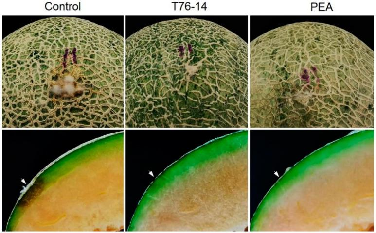 Lesion development after inoculation with F. incarnatum , control without VOCs and PEA, muskmelons exposed to VOCs of Trichoderma asperellum T76-14 and phenylethyl alcohol (PEA). Arrows indicate the inoculation points.