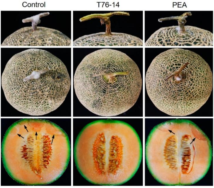 Effect of VOCs and PEA on postharvest fruit rot in muskmelons, T76-14 = Trichoderma asperellum T76-14 and PEA = phenylethyl alcohol. Arrows indicate the rotten tissue.