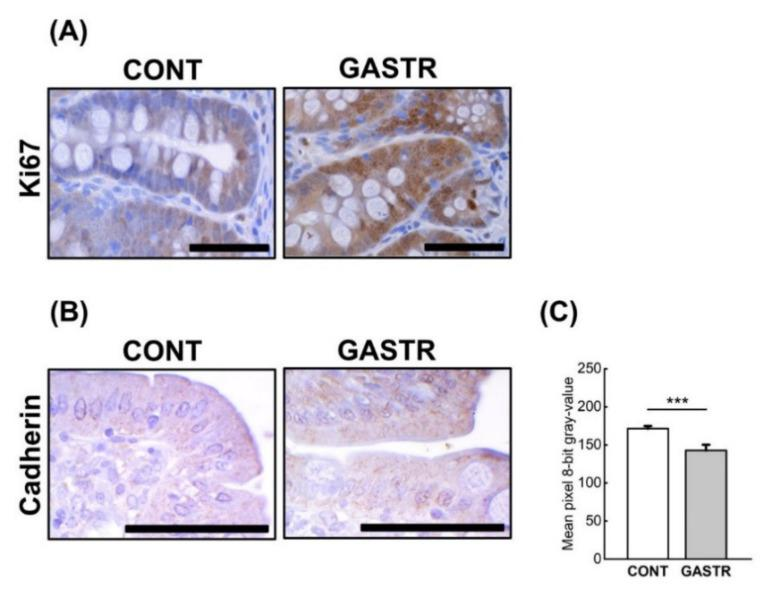 ( A ) Representative photomicrographs of the immunohistochemical reactions for Ki-67 in the jejunum. ( B ) Representative pictures of the immunohistochemical reactions for cadherin in the sections of the jejunum. Sections were developed in 3,3′-diaminobenzidine tetrahydrochloride (DAB); counterstaining was performed with Mayer's hematoxylin. All the scale bars represent 50 μm. ( C ) The intensity of expression of cadherin in the jejunum, measured by the quantitative assessment of mean pixel intensity values in the photomicrographs converted to 8-bit grayscale images. The scale was from 0 (white pixel) to 255 (black pixel); the lower the pixel value, the higher the intensity of immunohistochemical reaction. Graph shows mean ± standard error. Significance was established using a two-tailed Student's t -test (normally distributed data), Welch's test (normally distributed data with unequal variances) or the Mann–Whitney test (for pairwise comparisons with at least one non-normally distributed dataset); *** p