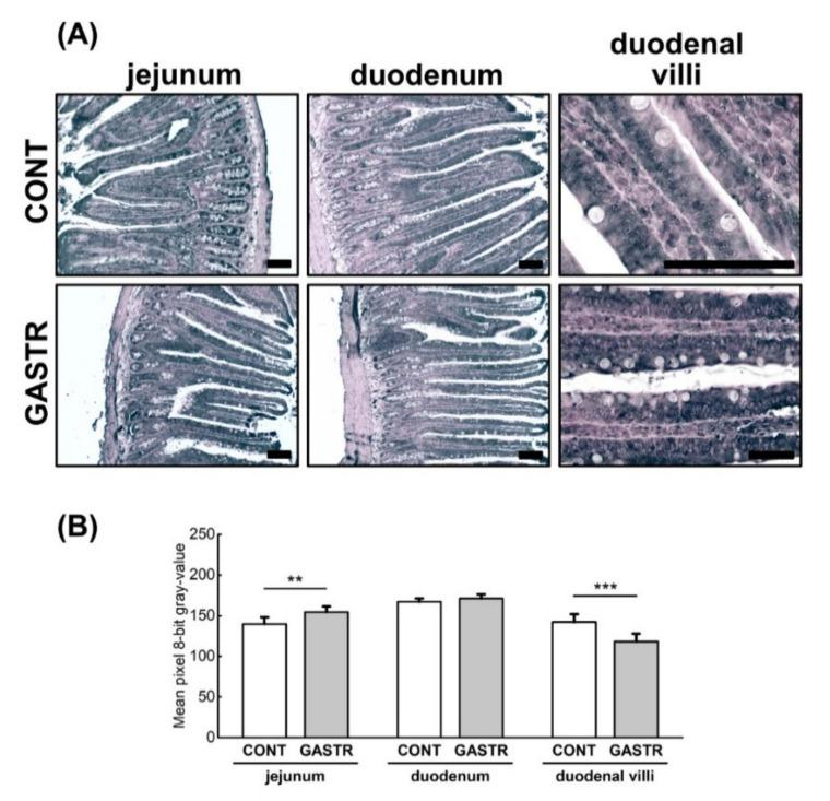 ( A ) Representative photomicrographs of the immunohistochemical reactions for occludin. Sections developed in 3,3′-diaminobenzidine tetrahydrochloride with metal enhancer; counterstaining performed with Nuclear Fast Red. All the scale bars represent 100 μm. ( B ) The intensity of expression of occludin measured by the comparison of the pixel brightness values in the microscopic images converted to 8-bit grayscale. The higher the pixel value, the lower the intensity of immunoreactions. Graph shows mean ± standard error. Significance was established using a two-tailed Student's t -test (normally distributed data), Welch's test (normally distributed data with unequal variances) or the Mann–Whitney test (for pairwise comparisons with at least one non-normally distributed dataset); ** p