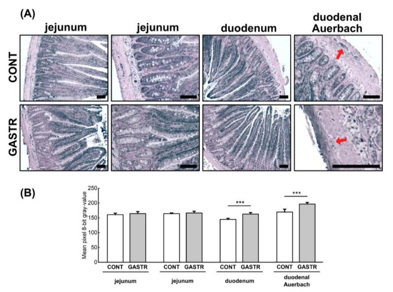 ( A ) Representative photomicrographs of the immunohistochemical reactions for leptin in the jejunum, duodenum and duodenal Auerbach plexus (red arrow). Sections were developed in 3,3′-diaminobenzidine tetrahydrochloride with metal enhancer; counterstaining was performed with Nuclear Fast Red. All the scale bars represent 100 μm. ( B ) The intensity of expression of ghrelin, measured by the comparison of the pixel brightness values in the microscopic images converted to 8-bit grayscale. Scale from 0 (white pixel) to 255 (black pixel); the lower the pixel value, the higher the intensity of immunohistochemical reaction. Graph shows mean ± standard error. Significance was established using a two-tailed Student's t -test (normally distributed data), Welch's test (normally distributed data with unequal variances) or the Mann–Whitney test (for pairwise comparisons with at least one non-normally distributed dataset); *** p