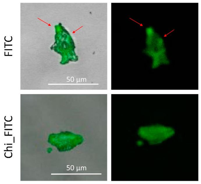Confocal laser scanning microscopy (CLSM) analysis of FITC and Chi_FITC treated with 1C MMT.