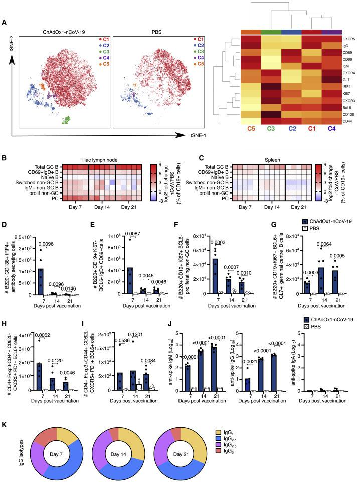 ChAdOx1 nCoV-19 Induces a Plasma Cell and Germinal Center B Cell Response (A) tSNE/FlowSOM analyses of CD19 + B cells from 3-month-old (3mo) mice 7 days after immunization with ChAdOx1 nCoV-19 or PBS; on the heatmap, red indicates high expression, and yellow indicates low expression. (B and C) Heatmaps of the manually gated B cell populations indicated at 7, 14, and 21 days after immunization in the iliac lymph node (B) and spleen (C); the gating strategy for these populations is shown in Figure S2 . Here, the frequency of each cell subset in each ChAdOx1 nCoV-19-immunized mouse has been expressed as the log2 fold change over the average frequency in PBS-immunized mice (n = 5). (D–J) Bar charts showing the total number of plasma cells (D), CD69 + IgD + B cells (E), proliferating non-germinal center B cells (F) and germinal center B cells (G) at the indicated time points after immunization. Number of T follicular helper (H) and T follicular regulatory cells (I) at the indicated time points post-immunization. Serum anti-spike IgM, IgG, and IgA (J) antibodies 7, 14, and 21 days after immunization. (K) Pie charts indicating the mean abundance of each IgG antibody subclass in the serum at the indicated time points after immunization. In (D)–(J), the bar height corresponds to the mean and each circle represents one biological replicate. p values are calculated using a Student's t test with Holm-Sidak multiple testing correction; for ELISA, data analyses were done on log transformed values.