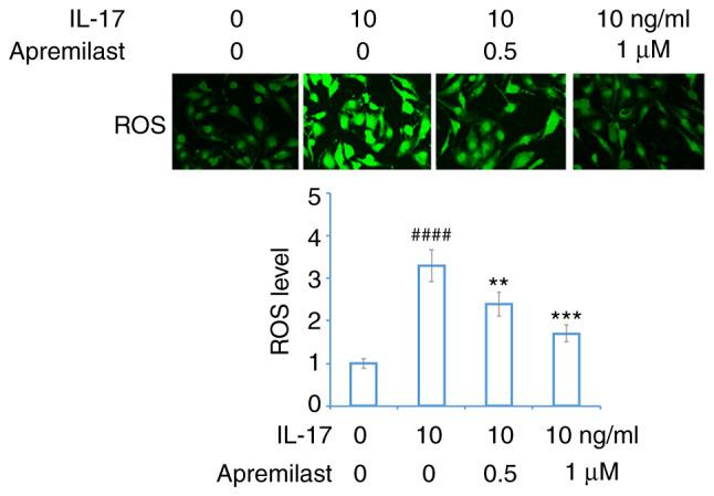 Apremilast prevents IL-17-induced production of ROS in mouse ATDC5 chondrocytes. Cells were treated with IL-17 (10 ng/ml) in the presence or absence of apremilast (0.5 and 1 µ M) for 24 h. Production of ROS was measured using DCFH-DA staining (magnification, ×10). #### P