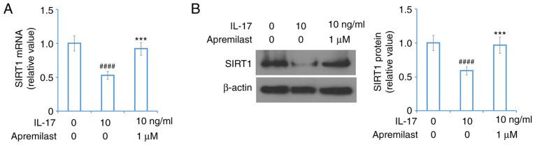 Apremilast prevents IL-17-induced reduction of SIRT1 in mouse ATDC5 chondrocytes. Cells were treated with IL-17 (10 ng/ml) in the presence or absence of a Apremilast (1 µ M) for 24 h. (A) mRNA of SIRT1. (B) Protein level of SIRT1. #### P
