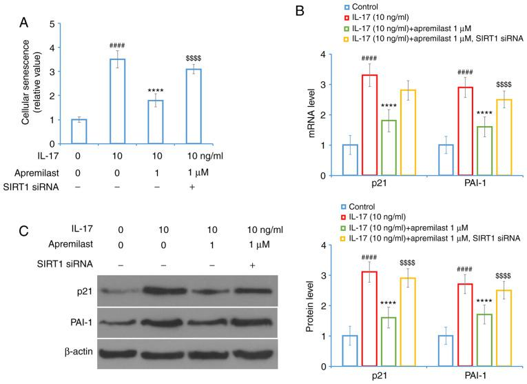 Knockdown of SIRT1 abolishes the protective effects of apremilast against IL-17-induced cellular senescence and the expression levels of p21 and PAI-1. Cells were transfected with SIRT1 siRNA, followed by stimulation with IL-17 (10 ng/ml) in the presence or absence of apremilast (1 µ M) for 24 h. (A) Cellular senescence. (B) mRNA levels of p21 and PAI-1. (C) Protein levels of p21 and PAI-1 as measured by western blotting. #### P