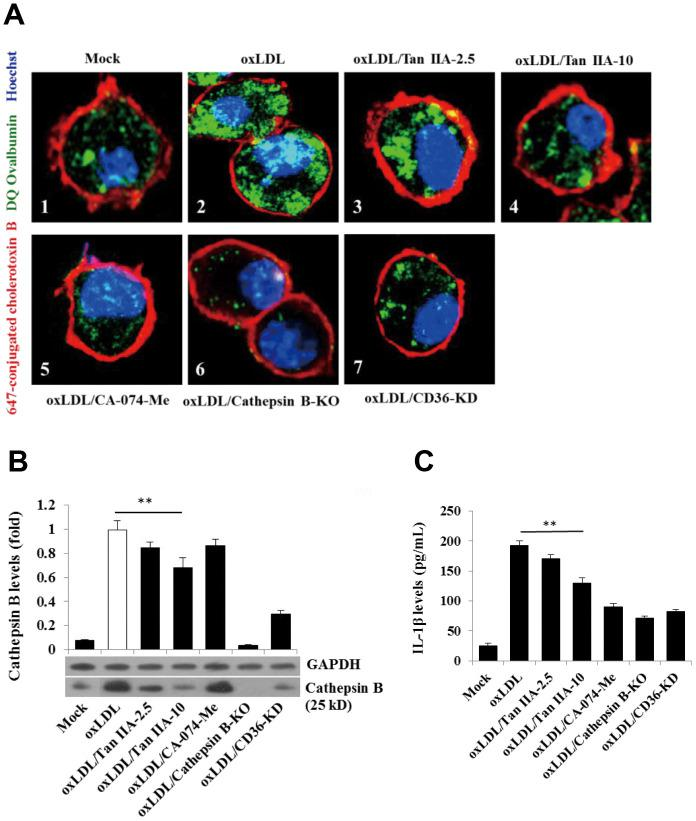 Tan IIA inhibits oxLDL-induced macrophage lysosomal damage and cathepsin B release. ( A ) Fluorescence confocal assay for oxLDL-induced cathepsin B release from lysosome of mouse B6 macrophages or cathepsin B -/- B6 macrophages under the different treatments, respectively. The cells were treated with oxLDL (50 μg/mL) alone (2), oxLDL plus 2.5 μg/mL Tan IIA (3), oxLDL plus 10 μg/mL Tan IIA (4) and oxLDL plus Cathepsin B inhibitor CA-074-Me (5). The Cathepsin B -/- mouse macrophages (6) were treated with oxLDL alone. The small interfering RNA-mediated CD36 silenced-mouse B6 macrophages (7) were treated with oxLDL alone. All the cells were stained with Alexa 647-conjugated cholera toxin B (membrane staining, red), and then with DQ ovalbumin (cathepsin B staining, green) and Hoechst dye (nuclei staining, blue) after saponin treatment. ( B ) Western blot detection for Cathepsin B releases from cytosol of oxLDL-induced B6 macrophages or cathepsin B -/- B6 macrophages treated with digitonin and phenylmethylsulfonyl fluoride (PMSF). ( C ) ELISA assay for oxLDL-induced Il-1β releases from mouse B6 macrophages or cathepsin B -/- B6 macrophages under the different treatments.