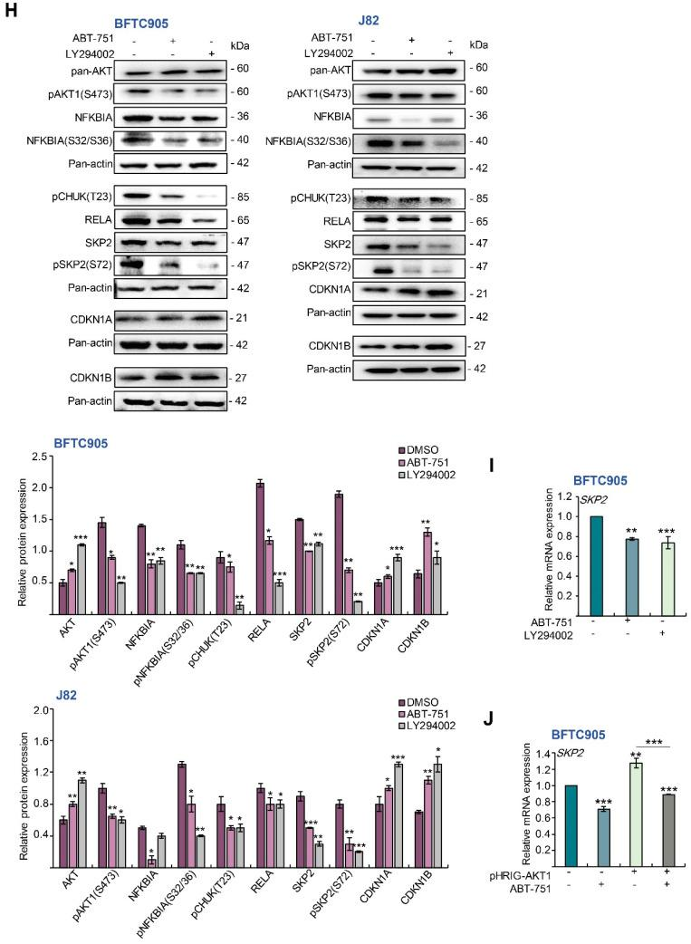 ABT-751 inhibits SKP2 transcription and subsequent translation in UBUC cells through dysregulation of the AKT–CHUK–NFKBIA–NFKB signaling pathway. ( A ) BFTC905 cells were treated with ABT-751 (0.6 μM) for 24 h and the levels of the components of SKP2 E3 ligase (CDC20 and FZR1 proteins) were determined by immunoblots. ( B ) The cells were pretreated with 4 μM of MG132, a proteasome inhibitor, for 6 h, then treated with a specified concentration of ABT-751 (BFTC905, 0.6 μM and J82, 0.7 μM) for another 18 h. Next, nuclear/cytosol fractionation along with immunoblot analysis were performed. ( C ) The mRNA levels of SKP2 , TP 53, CDKN 1 A , CDKN 1 B , RB 1, E 2 F 1 and TFDP 1 were analyzed by quantitative RT-PCR. ( D ) The expression levels of the SKP2 gene regulator-associated proteins were determined by immunoblots in BFTC905 and J82 cells. Cells were treated with a specified concentration of ABT-751 (BFTC905, 0.6 μM and J82, 0.7 μM) for 24 h, ( E ) AKT1 kinase activity via a co-immunoprecipitation assay and ( F ) nuclear/cytosol fractionation along with immunoblot analysis were performed. ( G ) The cells were treated with a specified concentration of ABT-751 (BFTC905, 0.6 μM and J82, 0.7 μM) for 24 h, cell lysates were subjected to the co-immunoprecipitation assay with anti-RELA antibody. ( H ) Immunoblot analysis was used to compare the alterations of SKP2 -regulatory protein levels after treatment with a PI3K-AKT inhibitor, LY294002 (10 μM) for 2 h and ABT-751 (BFTC905, 0.6 μM and J82, 0.7 μM) for 24 h. ( I ) BFTC905 cells were treated with ABT-751 (0.6 μM) or LY294002 (10 μM) and SKP2 mRNA levels were analyzed by quantitative RT-PCR. ( J ) Transfection of a constitutive active AKT1 plasmid, pHRIG-AKT1, into BFTC905 cells for 24 h, suppressed AKT1-induced SKP2 mRNA levels. Relative protein levels were quantified using Image J software. The results are expressed as the means ± SD. Pan-actin, <t>GAPDH</t> and PARP1 served as loading, cytosolic and nuclear controls, re