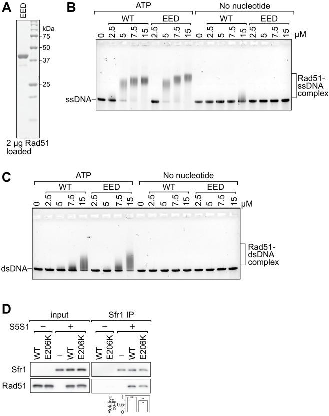 Rad51-EED binds both ssDNA and dsDNA like wild-type Rad51. ( A ) Purified Rad51-EED was examined by SDS-PAGE and coomassie staining. ( B, C ) The indicated concentrations of Rad51 (WT) or Rad51-EED (EED) were incubated with 30 µM nt PhiX174 virion DNA (ssDNA; B ) or 20 µM nt of linearized PhiX174 RF I DNA (dsDNA; C ) in the presence or absence of ATP. Protein-DNA complexes were crosslinked with glutaraldehyde and then resolved by agarose gel electrophoresis. ( D ) Purified Rad51 (WT or E206K) was incubated with purified Swi5-Sfr1 (or the equivalent volume of protein storage buffer) and subjected to immunoprecipitation with an anti-Sfr1 antibody. For quantification, Rad51 signal was normalized to Sfr1 signal and expressed relative to wild type. Data in ( D ) are the means of two independent experiments with individual values shown. Relative co-IP of Rad51 (%) for Figure 6—figure supplement 1D .