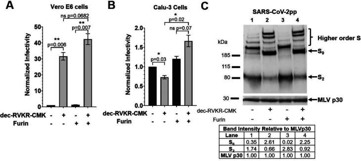 Impact of dec-RVKR-CMK on MLVpps. + dec-RVKR-CMK refers to MLVpp produced in HEK293T treated with 75 μM dec-RVKR-CMK at the time of transfection. + furin refers to particles treated with 6 U of recombinant furin for 3 h at 37 °C. (A, B) ± dec-RVKR-CMK and ± furin <t>SARS-CoV-2pp</t> were used to infect Vero E6 and Calu-3 cells. Infectivity was normalized to the – dec-RVKR-CMK, – furin condition in each cell line. Note the change in y -axis scale between A and B. Error bars represent the standard error measurements of three biological replicates ( n = 3). Statistical analysis was performed using an unpaired student's t test. Not shown: there is a ns difference between the −dec-RVKR-CMK, ± furin conditions (black bars). *, P ≤ 0.05; **, P ≤ 0.01; ns, nonsignificant, P > 0.05. (C) Western blot analysis of SARS-CoV-2pp produced in ± dec-RVKR-CMK and treated with ± furin for S protein content to complement the infection conditions. S was detected using a rabbit antibody against the <t>SARS-CoV-2</t> S2 region. MLV content was detected using a mouse antibody against MLV p30. Band intensities were normalized to the MLV p30 band intensity.