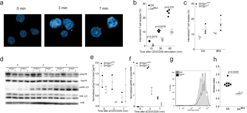 Endophilin A2 co-localizes with the TCR upon activation and regulates TCR internalization and signaling. a EA2 co-localization with the TCR in Jurkat cells after anti-CD3/CD28 stimulation determined by proximity-ligase assay and visualized as TexasRed + spots using confocal imaging. b Percentage of internalized TCR in T cells from 5 DA and 5 DA Mut rats after anti-CD3/CD28 stimulation. Data has been reproduced two times. c Percentage of internalized TCR in CD4 + CD3 + T cells from three SH3gl1 −/− and SH3gl1 +/+ mice stimulated with anti-CD3/CD28 for 30 min in the presence or absence of Brefeldin A at 1.25 μg/ml. Experiment has been repeated twice with the same results. d Representative Western blot analysis from two experiments of phosphorylated and unphosphorylated ZAP70 and ERK1/2 in T cells from two SH3gl1 −/− and SH3gl1 +/+ mice stimulated with anti-CD3/CD28 for 0, 3, and 7 min. Histone 2B was used as loading control. e Normalized OD values of phosphorylated Zap70 compared to unphosphorylated Zap70 from two SH3gl1 −/− and SH3gl1 +/+ mice. f Normalized OD values of phosphorylated ERK1/2 compared to unphosphorylated ERK1/2 from two SH3gl1 −/− and SH3gl1 +/+ mice. g Flow cytometry blot showing in vitro cell proliferation of DA Mut and DA T cells 72 h after anti-CD3/CD28 stimulation. h Division index of sorted T cells from 7 DA and 5 DA Mut rats after 72 h of anti-CD3/CD28 stimulation. Non-parametrical Mann–Whitney U test was used for statistical evaluation of data. Data are presented as mean with error bars indicating ± SEM with each dot representing an individual value.