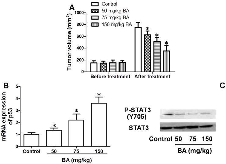 Antitumor effect of BA in vivo. Mice (15 in each group) were implanted with tumors and treated with 50–150 mg/kg BA for 3 weeks. (A) Tumor volumes were calculated. (B) mRNA of p53 in tumors were determined by real-time PCR. (C) Phosphorylation of STAT3 in tumors was determined by Western blot. * p