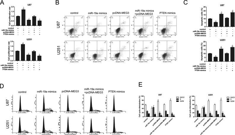 lncRNA MEG3 and miR-19a mediated glioma proliferation, apoptosis, and cell cycle. (A) Cell counting kit-8 (CCK-8) assays showed the proliferation of U87 and U251 cells in various groups. (B) The apoptosis of U87 and U251 cells was assessed by flow cytometry analysis. (C) The apoptotic cells in each group are shown. (D) Flow cytometry analysis was applied to evaluate the effect on cell cycle in U87 and U251 cells. (E) Cell cycle distribution of each group. Experiments were repeated three independent times. * p