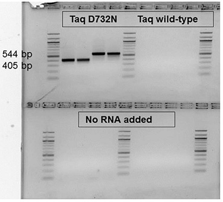 RT-PCR catalyzable by single enzyme Taq D732N but not wild-type Taq. No reverse transcriptase was included, nor was any manganese ion. Two MS2 phage RNA targets, P and K were amplified from 5 pg phage RNA with 0.1 or 0.05 μl D732N mutant or twice as much volume of wild-type Taq (NEB) in 35 μl reactions for 35 PCR cycles. The amplified products were run in a 2.5% agarose gel stained with ethidium bromide, along with a 100 bp DNA ladder (white/black reversed for clarity as printed). As negative control, no RNA was included for the reactions analyzed on the bottom half of the gel. The size of the clearly and successfully amplified bands are 405 and 544 bp (primer-primer gap sizes 359 and 500).