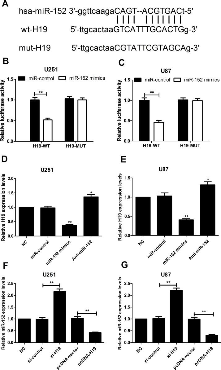 The expression of H19 was inversely associated with miR-152 expression. (A) The potential binding sites for miR-152 on H19. (B, C) Luciferase activity was detected after U251 and U87 cells were cotransfected with miR-152 mimic or miR-control and WT-H19 (wild type) or MUT-H19 (mutated) reporter. (D, E) The expression of H19 in U251 and U87 cells transfected with miR-control, miR-152 mimics, or anti-miR-152 was quantified by RT-qPCR. (F, G) The expression of miR-152 in U251 and U87 cells transfected with si-control or si-H19, and either with pcDNA-vector or pcDNA-H19 was examined by RT-qPCR. ** p