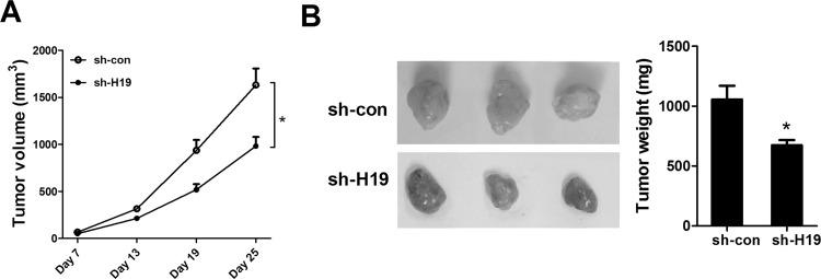 Downregulation of H19 inhibited glioma growth in vivo. U251 cells stably transfected with short hairpin RNA (shRNA) targeting H19 (sh-H19) or shRNA control (sh-con) were subcutaneously inoculated into the right side of the groin of nude mice. (A) Seven days later, the volume of the tumor xenografts was measured every 6 days using a caliper. (B) After 25 days of injection, the tumor-bearing mice were sacrificed, and visible tumors were excised and weighted. * p