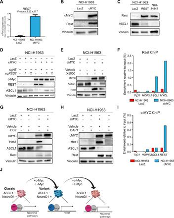 c-Myc induces neuronal repressor REST to mediate lineage conversion. ( A ) Expression of REST in NCI-H1963 cells with LacZ overexpression and NCI-H1963 with c-Myc overexpression ( n = 3). ( B ) Protein expression of c-Myc and Rest, as well as vinculin, as a loading control in genetically engineered NCI-H1963 cells. ( C ) Protein expression of Rest and ASCL1, as well as vinculin, as a loading control in genetically engineered NCI-H1963 cells to overexpress Rest. ( D ) Protein expression of c-Myc, Rest, and ASCL1, as well as vinculin, as a loading control in genetically engineered NCI-H1963 cells genetically deleted for REST and overexpressed with either LacZ as control or c-Myc. ( E ) Protein expression of c-Myc, L-Myc, ASCL1, and Rest, as well as vinculin, as a loading control in geneticall y engineered NCI-H1963 cells treated with vehicle [dimethyl sulfoxide (DMSO)] or 10 μM Rest inhibitor (X5050) for 48 hours. ( F ) Rest ChIP-qPCR in NCI-H1963 c-Myc–overexpressed cells and LacZ-overexpressed cells (negative control) at the ASCL1 and MYCL loci with 7q31 and HOPX as negative control loci. One representative of three biological replicates is shown. ( G ) Protein expression of c-Myc, L-Myc, ASCL1, and Rest, as well as vinculin, as a loading control in genetically engineered NCI-H1963 cells treated with vehicle (DMSO) or 0.5 μM Notch inhibitor (DBZ) for 48 hours. ( H ) Protein expression of c-Myc, L-Myc, ASCL1, and Rest, as well as vinculin, as a loading control in genetically engineered NCI-H1963 cells treated with vehicle (DMSO) or 10 μM Notch inhibitor (DAPT) for 48 hours. ( I ) c-Myc ChIP-qPCR in NCI-H1963 c-Myc–overexpressed cells and LacZ-overexpressed cells (negative control) at the ASCL1 and REST loci with 7q31 and HOPX as negative control loci. One representative of three biological replicates is shown. ( J ) Graphical schematic representing role of c-Myc and L-Myc as lineage-determining factors in SCLC.