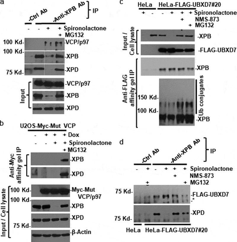 VCP/p97 physically interacts with XPB in spironolactone-treated cells. (a) HeLa cells were mock-treated or treated with spironolactone at 10 μ M or together with proteasome inhibitor MG132 at 10 μ M for 6 h. The cell extracts were made in RIPA buffer and subjected to immunoprecipitation with anti-XPB specific or control antibodies. The immunoprecipitates and input cell extracts were detected for presence of VCP/p97, XPB and XPD. All Western blotting analyses were done with single polyacrylamide gel. Nonessential lanes were digitally removed from XPB and XPD original diagrams. (b) U2OS-Myc-Mut VCP cells that have a stably integrated, doxycycline-inducible Myc epitope-tagged mutant VCP/p97 were induced with doxycycline (1 µg/ml) for 20 h to express epitope-tagged VCP/p97. The cells were then treated with mock-treated or treated with spironolactone as that in Figure 4(a). The cell extracts were subjected to immunoprecipitation with anti-Myc affinity gels. The immunoprecipitates and input cell lysates were detected for Myc-tagged VCP/p97, XPB and XPD as well as β-Actin. (c) HeLa cells and HeLa-derived HeLa-FLAG-UBXD7#20 cells that stably express FLAG epitope-tagged UBXD7 were mock-treated or treated for 6 h. with 10 μ M spironolactone, NMS-873 and MG132 alone or in combination. The cell extracts were made in Buffer A and subjected to immunoprecipitation with anti-FLAG agarose gels. The immunoprecipitates and cell extracts were detected for XPB and FLAG-tagged UBXD7. In lower image panel of anti-FLAG gel immunoprecipitation, anti-XPB blotting image was over-exposed to show ubiquitin (Ub) conjugates of XPB. (d) the same cell extracts as in Figure 4(c) were subjected to immunoprecipitation with anti-XPB and control antibody and the immunoprecipitates were detected for FLAG-UBXD7 and XPD by Western blotting. Asterisk (*) marks nonspecific band in anti-FLAG Western blotting