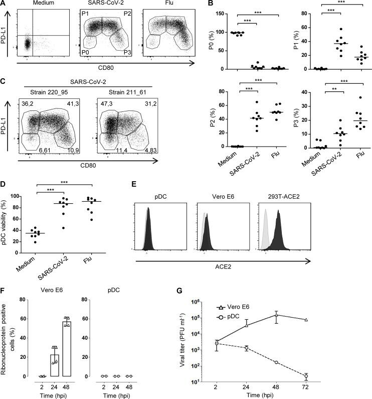 SARS-CoV-2 induces activation and diversification of primary human pDCs. Sorted blood pDCs from healthy donors were cultured for 24 h with medium, SARS-CoV-2, or Flu. (A) Dot plot showing pDC activation and diversification through the expression of PD-L1 and CD80 into P1, P2, and P3 subpopulations. Results from one healthy donor representative of n = 8. (B) Quantification of the three populations. Bars represent medians of n = 8 healthy donors from six independent experiments. (C) Dot plot showing pDC activation from different strains of SARS-CoV-2 isolated from two patients. Results from one healthy donor representative of n = 3. (D) Percentage of live pDCs after 24 h of culture with medium, SARS-CoV-2, or Flu. n = 8 healthy donors from six independent experiments. (E) Histogram of ACE2 expression on pDCs, Vero E6, and 293T-ACE2 (black) compared with the isotype (light gray). Results from one experiment representative of n = 3. (F) Intracellular production of SARS-CoV-2 ribonucleoprotein in Vero E6 and pDCs at 2, 24, or 48 h post-infection (hpi) with SARS-CoV-2. Results from one experiment representative of n = 3. (G) Infectious viral titers in the supernatants of SARS-CoV-2–infected Vero E6 and pDCs at 2, 24, 48, or 72 hpi. Results from one experiment representative of n = 3. **, P