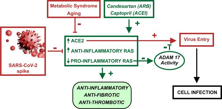 Diagram summarizing major results and conclusions Candesartan and captopril increase ACE2 levels and anti-inflammatory RAS arm activity, and inhibit the proinflammatory RAS axis. This leads to anti-inflammatory, anti-fibrotic and anti-thrombotic effects in the lung, and counteracts the opposite effects of aging and metabolic syndrome (obesity, hyperglycemia and hypertension) and SARS-CoV-2/spike protein on the same RAS components. The candesartan/captopril-induced increase in ACE2 levels leads to an increase in levels of viral receptors. However, a simultaneous candesartan/captopril-induced reduction in ADAM17 activity reduces viral entry and cell infection.