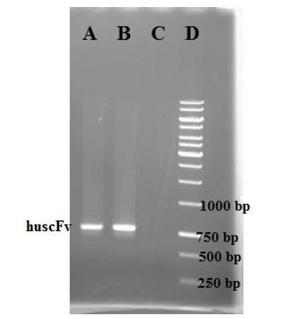 PCR confirmation of the pET-22b-huscFv constructs transformation into the E. coli BL21 (DE3). Lane A –B) indicates the pET-22b-huscFv clones; Lane C) indicates the negative control; Lane D) indicates the DNA size marker.