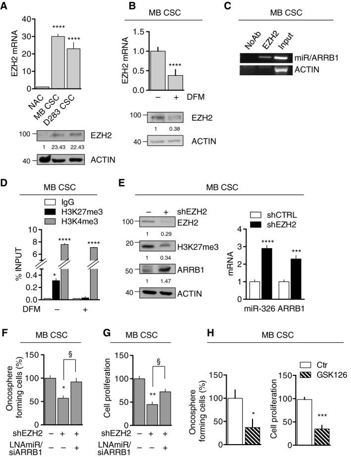 EZH2‐dependent regulation of miR‐326 and ARRB1. (A) EZH2 expression mRNA (top) and protein (bottom) in NAC (control), MB CSC and D283 CSC (vs. NAC: MB CSC P