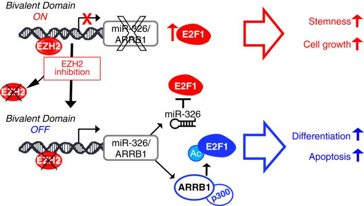 Impact of EZH2—miR‐326/ARRB1—E2F1 axis in MB CSCs. In MB CSCs, the miR‐326 and ARRB1 transcription unit remains in a poised state: ready to be transcribed thanks to the presence of the permissive (H3K4me3) chromatin mark, but prevented from doing so by the persistence/predominance of the repressive (H3K27me3) chromatin mark, which is catalyzed by the histone methyltransferase EZH2. In this state, the cells express high levels of nonacetylated E2F1 transcription factor, which favors their self‐renewal and proliferation. Reversal of the H3K4me3: H3K27me3 ratio de‐represses miR‐326 and ARRB1 transcription. Restoration of miR‐326 expression reduces the E2F1 levels. Re‐expression of ARRB1, in complex with p300, acetylates E2F1 (E2F1‐Ac), thereby redirecting the transcription factor's activity toward pro‐apoptotic gene targets (e.g., TP73, CASP3, CASP7 ).