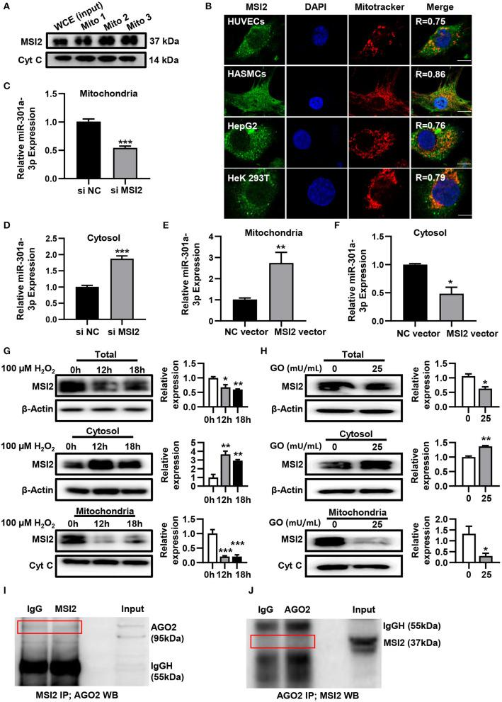 MSI2 exists in mitochondria and facilitates the distribution of miR-301a-3p in mitochondria. (A) Western blotting analysis of mitochondrial fractions of HUVECs for MSI2 and Cytochrome C. Mito: mitochondria; WCE: whole cell extracts. (B) Fluorescence colocalization of MSI2 and mitochondria in different types of cells. MSI2 was labeled with its Alexa Fluor 488-conjugated antibody (green). Mitochondria and nuclei were stained, respectively, with MitoTracker (red) and DAPI (blue). Yellow areas in the merged images represented the colocalization of MSI2 and mitochondria. R value represented the Mander's overlap coefficient between MSI2 and mitochondria calculated by Image-Pro Plus 6.0 software. Bar=10 μm. (C,D) The relative levels of miR-301a-3p in mitochondria (C) and cytosol (D) of HUVECs transfected with MSI2 siRNA compared to those in the control group. The 12S rRNA (mitochondria) and GAPDH (cytosol) were used as internal standards. (E,F) The relative levels of miR-301a-3p in mitochondria (E) and cytosol (F) of HUVECs transfected with MSI2 expression vector compared to those in the control group. (G) Western blotting analysis of MSI2 levels in the whole, cytosolic and mitochondrial fractions of HUVECs treated with H 2 O 2 for 0, 12, and 18 h. (H) Western blotting analysis of MSI2 levels in the whole, cytosolic and mitochondrial fractions of HUVECs treated with GO for 24 h. (I,J) Immunoprecipitation analysis of the binding of Ago2 and MSI2 in HUVECs mitochondria. The immune complexes were formed by incubating mitochondrial lysates with anti-MSI2 (MSI2 IP) and then immunoblotted with anti-Ago2 antibody (I) , or by incubating mitochondrial lysates with anti-Ago2 (Ago2 IP) and then immunoblotted with anti-MSI2 antibody (J) . Mitochondrial lysates were used as input sample and normal IgG was used as the negative control (IgG). Two-tailed Student's t -test was used for statistical analysis in (C–F,H) . One-way analysis of variance (ANOVA) was used for (G) . Data are presen