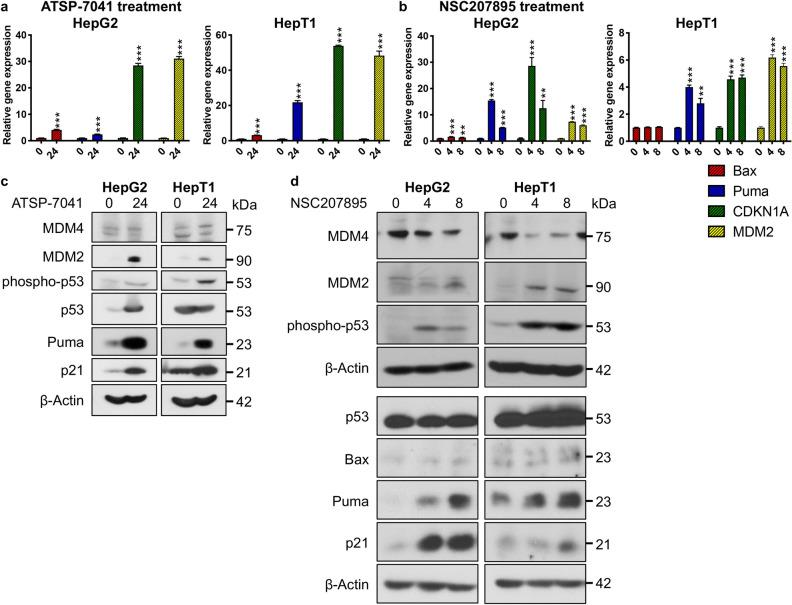 Acute MDM4 inhibition with ATSP-7041 and NSC207895 lead to upregulation of p53 activity and downstream signaling. ( a ) Bar graphs representing normalized mRNA expression of p53 targets Bax , Puma , CDKN1A , and MDM2 analyzed with qPCR experiments. RNA extracted from HepG2 and HepT1 cells treated with 10 μM ATSP-7041 for 24 h was compared to that from untreated cells (0 h). Error bars represent SD. Data shown are representative of at least three independent experiments performed with three replicate wells each time. Student's t test (two tailed) * P