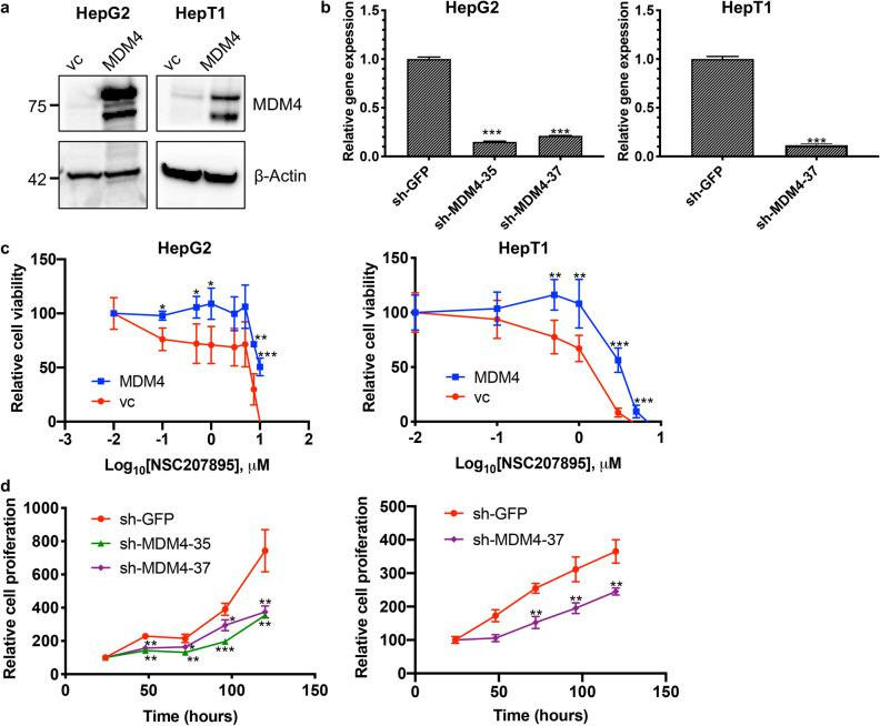 Cytotoxic effects of NSC207895 are dependent on MDM4. ( a ) Immunoblotting with HepG2 and HepT1 cells transduced with MDM4 cDNA or vector control (vc) with an antibody recognizing MDM4 (04–1555, Millipore). β-Actin immunoblotting was used as a loading control. Data shown are representative of at least three independent experiments. Full length blots for data shown in a are presented in Supplementary Fig. 11 . ( b ) Bar graphs representing normalized mRNA expression of MDM4 analyzed with qPCR experiments. RNA extracted from HepG2 and HepT1 cells transduced with sh-MDM4-35 or sh-MDM4-37 was compared to that transduced with sh-GFP . ( c ) Cells transduced with MDM4 cDNA or vc were incubated with varying concentrations of NSC207895 for 48 h. MTT assays were performed at 48 h to asses viability. ( d ) Cells transduced with sh-MDM4 or control sh-GFP were grown for 120 h and MTT assays were done at 24 h intervals to assess cell number. Data shown in b, c, and d are representative of at least three independent experiments performed with three replicate wells each time. Error bars represent SD. Student's t test * P