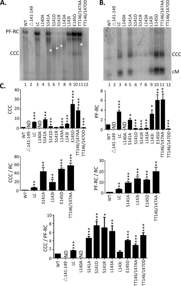 Effects of linker mutations on CCC DNA formation. HepG2 were co-transfected with indicated HBc expression constructs and the HBV genomic construct defective in HBc expression and HBV PF DNA was extracted from the transfected cells seven days after transfection. The extracted DNA was digested with Dpn I to degrade input plasmids ( A ), or Dpn I plus the exonuclease I and III to removal all DNA except closed circular DNA ( B ), before agarose gel electrophoresis and Southern blot analysis. Novel PF DNA smears detected from certain mutants are marked with the white asterisks to the left of the relevant lanes (S141D, S141R, L143A, TT146/147DD). PF-RC, PF-RC DNA; CCC, CCC DNA; cM, closed minus strand DNA. C. CCC DNA and PF-RC DNA signals of each mutant were compared with WT (top two panels). CCC DNA and PF-RC DNA are normalized to core RC DNA (middle two panels), and CCC DNA is normalized PF-RC DNA (bottom). All values from the WT were set to 1.0. *, P