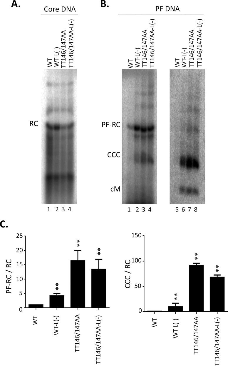 Analysis of CCC DNA from TT146/147AA in the presence and absence of the L protein. The full-length HBV replicon, with WT or TT146/147AA mutant HBc, or their L - derivative was transfected into HepG2 cells. Transfected cells were harvested seven days post-transfection. A. HBV NC-associated DNA (core DNA) was released by SDS-proteinase K digestion from cytoplasmic lysates and detected by Southern blot analysis. B. PF DNA was extracted by Hirt extraction and digested with Dpn I (lane 1–4) or Dpn I plus exonuclease I and III (lane 5–8). RC, RC DNA; SS, SS DNA; PF-RC, PF-RC DNA; CCC, CCC DNA; cM, closed minus strand DNA. C. Quantitative results from multiple experiments. Left, PF-RC DNA normalized to core RC DNA; right, CCC DNA normalized to core RC DNA. All normalized values from the WT were set to 1.0. **, P