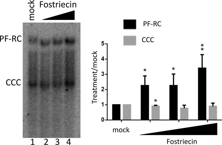 Effect of PP2A inhibition on HBV infection. HepG2-NTCP cells were infected with HBV for one day. Following removal of the inoculum, the cells were mock treated or treated with the PP2A inhibitor Fostriecin (20 μM, 40 μM, 80 μM). HBV PF DNA was extracted three days post-infection and detection by Southern blot analysis. PF-RC, PF-RC DNA; CCC, CCC DNA. In the graph, PF-RC DNA and CCC DNA signals from Fostriecin-treated cells were compared to mock treatment, which was set to 1.00. *, P