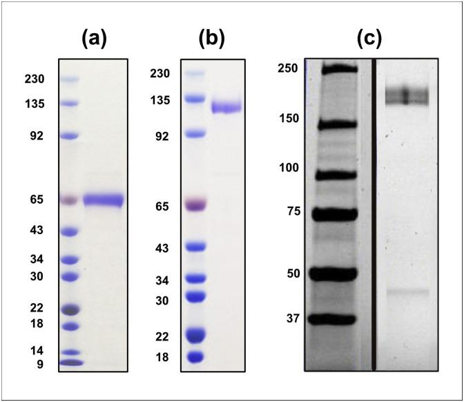 Purification of RBD-Fc, ACE2-Fc, and spike protein. (a) Recombinant. SARS-CoV-2 spike RBD-Fc fusion protein. The predicted molecular weight (MW) is ∼ 65 kDa, when resolved by SDS-PAGE under reducing conditions with sized standards (MW shown in kDa); > 90 % pure by quantitative densitometry of the Coomassie Blue stained gel. (b) Recombinant ACE2-Fc fusion protein. The predicted MW is ∼110 kDa, when resolved by SDS-PAGE under reducing conditions, and judged to be > 90 % pure by quantitative densitometry of the Coomassie Blue stained gel. (c) Spike protein. The near full-length protein resolved as a doublet with a MW of ∼170 kDa under reducing conditions and was judged to be > 90 % pure by quantitative densitometry of the Coomassie Blue stained gel. The doublet bands are thought to differ in post-translational modifications. Composite image of two lanes from the same gel.