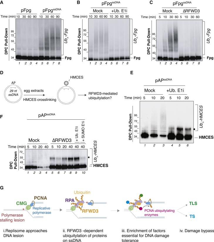 RFWD3 simulates ubiquitylation of proteins on ssDNA (A) Fpg bacterial glycosylase was crosslinked to either double-stranded (pFpg) or single-stranded DNA (pFpg ssDNA ) and added to SPRTN-depleted non-licensing egg extracts. DPC pull-down under stringent conditions was performed at the indicated time points, and samples were blotted against crosslinked Fpg. Slow mobility bands represent ubiquitylated Fpg species (see B). (B) pFpg ssDNA was incubated in SPRTN-depleted non-licensing extracts, and ubiquitin E1 inhibitor was added where indicated. Plasmids were recovered, and samples were blotted against Fpg as in (A). (C) pFpg ssDNA was incubated in mock- or RFWD3-depleted non-licensing extracts (also depleted of SPRTN) for the indicated time points and samples processed as in (A). (D) Generation of an AP site on ssDNA (pAP ssDNA ) to induce HMCES crosslinking. (E) pAP ssDNA was incubated in SPRTN-depleted non-licensing extracts, and ubiquitin E1 inhibitor was added where indicated. Plasmids were recovered, and proteins were blotted against HMCES. The black dot indicates sumoylated HMCES (see F). (F) pAP ssDNA was incubated in mock- or RFWD3-depleted non-licensing extracts (depleted of SPRTN), and ubiquitin E1 inhibitor or SUMO E1 inhibitor was added where indicated. Plasmids were recovered and analyzed as in (D). (G) Model illustrating the role of RFWD3 in gap-filling DNA synthesis (see Discussion ).