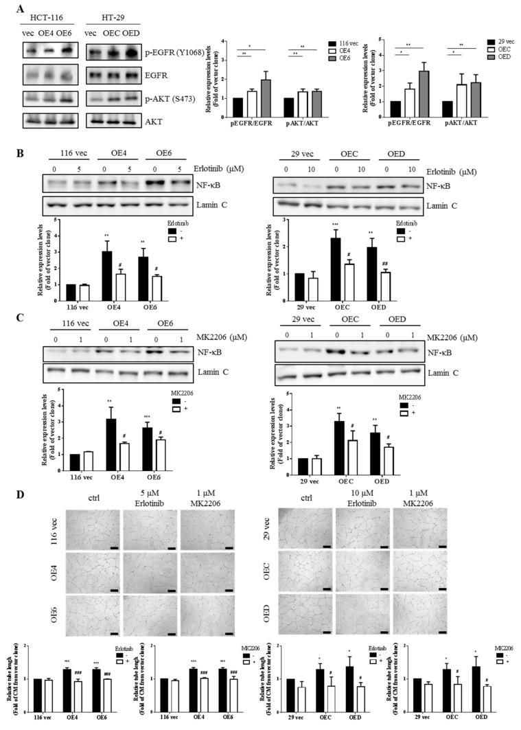 The EGFR/AKT pathway is responsible for the activation of NF-κB in the GATA6-overexpressing human CRC clones. ( A ) Total lysates (20 µg) prepared from three clones derived respectively from HCT-116 and HT-29 cells were subjected to western blot analyses using primary antibodies phospho-EGFR (Y1068), total EGFR, phospho-AKT (S473), and total AKT as probes, respectively. The quantitative results (bar graphs) obtained by densitometry are the mean ± SD of three independent experiments. * p