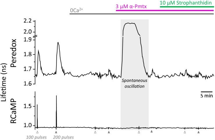 Spontaneous oscillations in the Peredox signal may occur during the prolonged application of zero Ca 2+ -ACSF, in the presence of EGTA and LDH inhibition. Prolonged exposure to a nominal Ca 2+ -free solution, plus LDH inhibition, caused spontaneous elevations of the Peredox lifetime in 25 ± 13% of the cells in each slice (slices = 10, mice = 5), contrasting with only ~3% of cells exposed to a brief exposure as in Figure 4c . The spontaneous elevations in Peredox lifetime occurred at any time after removing Ca 2+ from the ACSF. Although these neurons were not included in the analysis, once the spontaneous transients cleared, the experiment resumed as usual. The continuous presence of 1 mM EGTA and 2 µM GSK-2837808 (LDH inhibitor) is not indicated in the figure for simplicity. In the control ACSF, the [Ca 2+ ] was adjusted accordingly to yield a free concentration of 2 mM.