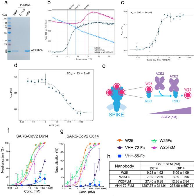 Binding characterization and neutralization of SARS-CoV-2 by the nanobody W25. ( a) Pulldown of the W25 nanobody. A recombinant Spike RBD domain of the SARS-CoV-2 spike protein or control BSA protein were covalently bound to NHS-sepharose beads. Further, the W25 nanobody was incubated with control and spike RBD beads, washed, and further eluted in LSD lysis buffer (Invitrogen). Original SDS-Page as supplemental Fig. 3 b. ( b) Unfolding profiles of 2 µM SARS-CoV-2 S1, spike RBD in the absence (black) and presence (red) of 2 µM W25, measured with Tycho NT.6. Binding of W25 to spike RBD leads to strong stabilization and shifts the inflection unfolding temperature (T i ) from 52.1 to 66.3 °C. ( c) MST binding curve for the titration of 1 nM fluorescently labeled W25 into a 16-point serial dilution of SARS-CoV-2 S1, Spike RBD (250 nM to 7.6 pM). W25 binds Spike RBD with sub-nanomolar affinity (K d = 295 ± 84 pM). Error bars show the SD calculated from experiments performed in triplicate. ( d) MST competitive curve for 2 nM of fluorescently labeled W25 incubated with 4 nM SARS-CoV-2 RBD, titrated with a 16-point dilution series of hACE2 (1 µM to 30.5 pM). W25 is displaced by hACE2 with nanomolar concentration (EC50 = 33 ± 9 nM). Error bar show the SD calculated from triplicate experiments. ( e) Diagram of W25 and ACE2 competition for RBD of spike of SARS-CoV-2. ( f) Neutralization assay of SARS-CoV-2 life virus D624 variant with nanobody W25, W25 fused to monomeric Fc (W25FcM) and W25 fused to dimeric Fc (W25Fc) and the previously reported nanobodies VHH-72-Fc (monomeric) and VHH-55-Fc (monomeric). The independent experiments were normalized by percentage of neutralization. ( g) Neutralization assay of SARS-CoV-2 life virus D624 under similar condition as in ( g ). ( h) Comparative neutralization values of W25, W25FcM, W25Fc and VHH-72 FcM against SARS-CoV-2 D614 and G614 virus variants. Illustration (e) by Felipe G. Serrano BSc., MSc Scientific illustrator.