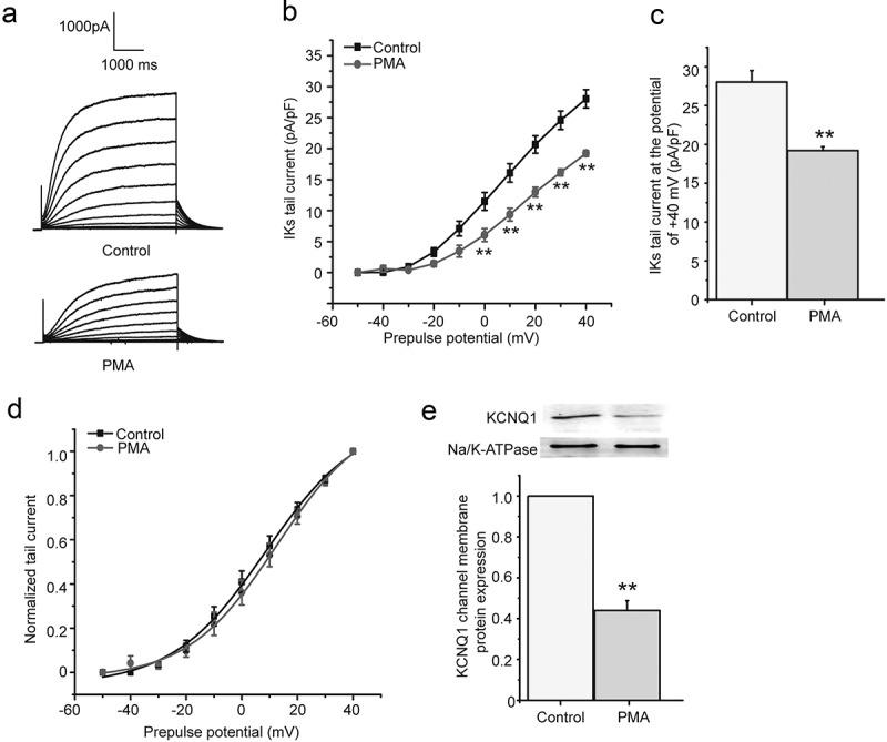 The chronic effect of PMA on I Ks current in HEK 293B cell. (a) The representative I Ks current under the PMA (100 nM) treatment. (b) The current–voltage relationship for the tail currents under the PMA (100 nM) treatment. (c) The summary data for the tail currents under the PMA (100 nM) treatment at +40 mV prepulse. (d) The normalized I–V relationship for I Ks current. The solid lines represent fits to a Boltzmann function. (e) The representative immunoblot and summary data for the <t>KCNQ1</t> channel membrane protein under the PMA (100 nM) treatment (** P