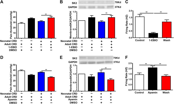SK2 channel activator 1-EBIO decreased the neuronal firing rates and alleviated visceral pain. Rats receiving intra-PVN injection of 1-EBIO (10 μg/0.3 μL) 30 min before behavioral tests. 1-EBIO prevented the decrease of (A) the pain threshold; (B) the membrane SK2 channel protein in rats undergoing neonatal CRD (n = 6 rats each, F 3,20 = 27.4, p