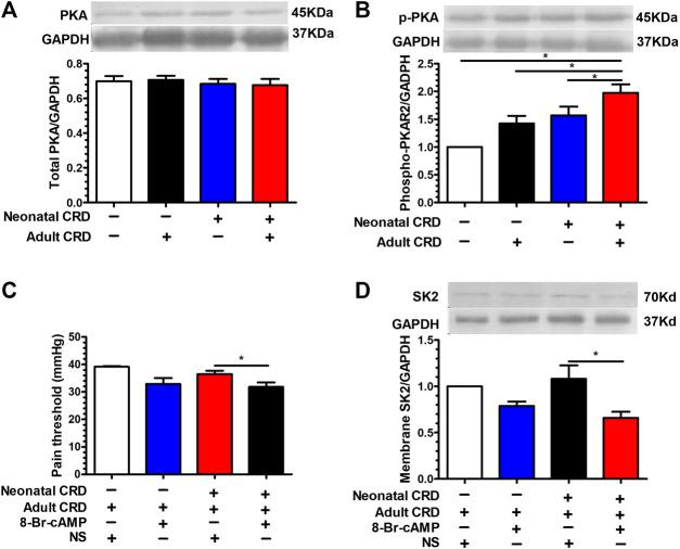 PKA activation facilitated the transfer of SK2 channel protein from the cell membrane into the cytoplasm. (A) There was insignificant change in the total PKA expression (n = 6 rats each, F 3,20 = 0.3017, p = 0.8238). (B) The expression of phosphorylated PKA in PVN was significantly increased in rats undergoing neonatal CRD vs. other groups (n = 6 rats each, F 3,20 = 30.44, p