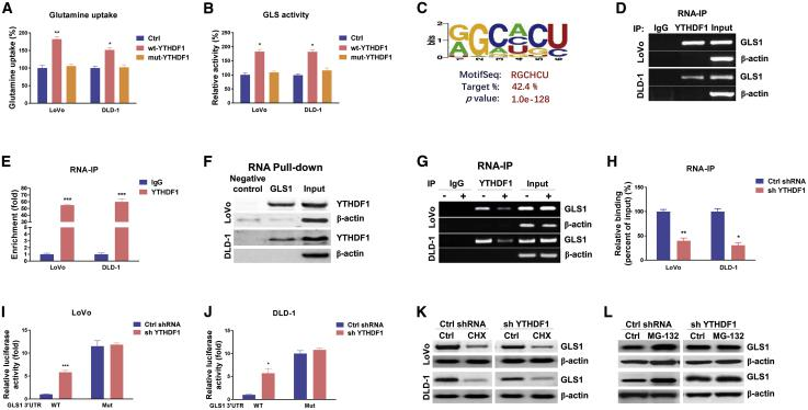 YTHDF1 directly binds with GLS1 to promote its protein translation (A and B) LoVo and DLD-1 cells were transfected with control, wild-type (WT) YTHDF1, or YTH domain mutant YTHDF1 for 48 h (A), and glutamine uptake and GLS activity (B) were detected. (C) Predicted YTHDF1 binding motif on the 3′ UTR of GLS1 mRNA. (D) RNA immunoprecipitation (RIP) was performed in LoVo and DLD-1 cells using anti-IgG control or anti-YTHDF1 antibody. (E and F) GLS1 abundance in the immunoprecipitated fraction was measured by agarose gel electrophoresis and (E) qRT-PCR. (F) An RNA pull-down assay was performed in LoVo and DLD-1 cells. The biotin-labeled 3′ UTR of WT or binding motif mutant GLS1 was incubated with proteins extracted from cells. The YTHDF1 protein, which was pulled down by the GLS1 binding motif, was detected by western blot. β-Actin was used as a negative control. (G) LoVo and DLD-1 cells were transfected with control shRNA or YTHDF1 shRNA for 48 h, and RIP experiments were performed using an anti-IgG control or anti-YTHDF1 antibody. GLS1 and β-actin mRNA abundance levels in the immunoprecipitated fraction were measured by agarose gel electrophoresis and (H) qRT-PCR. (I and J) Reporter constructs containing the WT or the binding motif mutant (Mut) GLS1 3′ UTR were co-transfected with control shRNA or GLS1 shRNA into LoVo and DLD-1 cells. Luciferase activities were measured using a Dual-Luciferase reporter assay kit. (K) LoVo and DLD-1 cells were treated with 10 μg/mL CHX for 0 and 6 h, and the relative GLS1 protein expression was measured by western blot. (L) LoVo and DLD-1 cells were treated with 50 nM MG-132 for 0 and 6 h, and the relative GLS1 protein expression was measured by western blot. β-Actin was used as an internal control. Data are presented as mean ± SD. ∗p