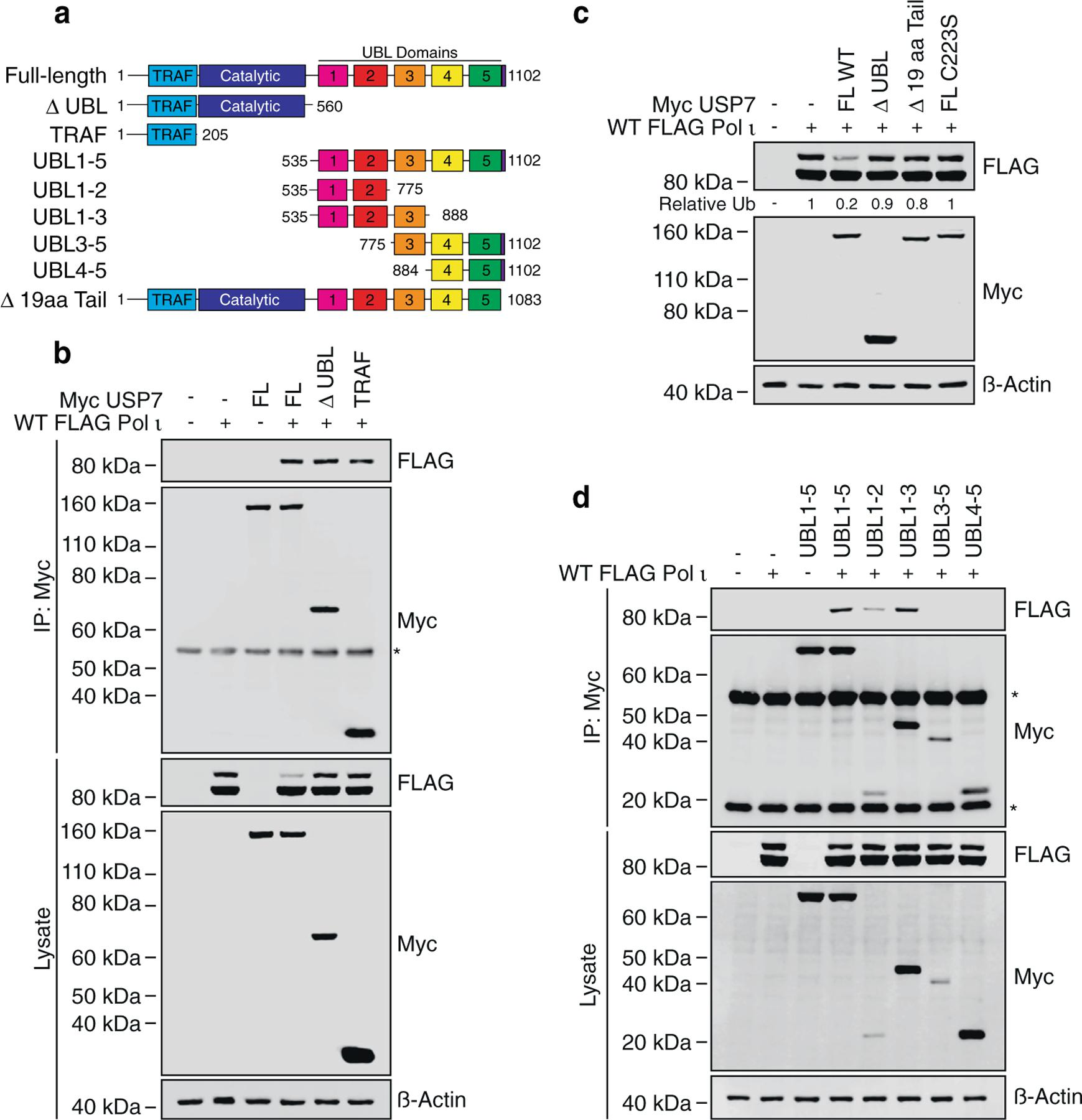 Pol ι associates with the TRAF and UBL1-2 domains of USP7. (a) Schematic illustrating USP7 truncation mutants employed in this figure. (b) Immunoprecipitation of the indicated USP7 truncations from HEK293T cells co-expressing WT FLAG Pol ι. Eluent and WCL (input) were immunoblotted as indicated. * = Myc antibody proteins. (c) WT FLAG Pol ι was co-expressed in 293T cells with WT Myc USP7, or a mutant lacking 19 aa from the C-terminal tail (Δ 19 aa Tail). WCL was then prepared and immunoblotted as indicated. (d) Immunoprecipitation of the indicated USP7 truncations from 293T cells co-expressing WT FLAG Pol ι. Eluent and WCL (input) were immunoblotted as indicated. * = Myc antibody proteins.