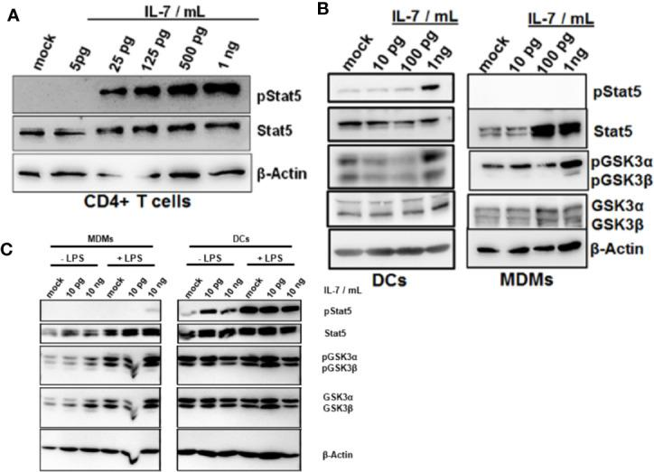 Phosphorylation of Glycogen synthase kinase-3 (GSK3) in dendritic cells (DCs) and macrophages in response to interleukin-7 (IL-7). (A) Naive CD4 T cells were treated with ascending concentrations of human IL-7 for 15 min. Presence of phosphorylated and total Stat5 was analyzed by Western Blot. (B) Human monocytes were differentiated into monocyte-derived DCs (left panel) or monocyte-derived macrophages (MDMs) (right panel). Cells were pre-incubated with 10 ng/ml lipopolysaccharide (LPS) for 48 h before treatment with the displayed concentrations of IL-7 for 15 min. Presence and phosphorylation status of proteins (i.e. Serine 21/9 phosphorylation on GSK3α and GSK3β respectively and Tyrosine 694 phosphorylation on Stat5) was assessed using Western Blot with β-Actin as control. (C) monocyte-derived macrophages (MDMs) and DCs were stimulated with or without 10 ng/ml LPS for 16 h before incubation with the different concentrations of IL-7 (10 pg/ml or 10 ng/ml) for 15 min. Presence and phosphorylation status of proteins (i.e. Serine 21/9 phosphorylation on GSK3α and GSK3β respectively and Tyrosine 694 phosphorylation on Stat5) was assessed using Western Blot with β-Actin as control. In (A–C) , one out of three experiments (n=3) is shown as demonstration.