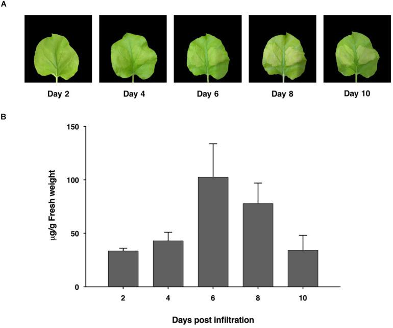 Expression profiles of ACE2-Fc in N. benthamiana leaves on days 2, 4, 6, 8, and 10 after agroinfiltration. Leaf necrosis (A) Quantification of plant-produced ACE2-Fc (B) . The infiltrated leaves were collected from 3 individual plants in each day post infiltration. Data were analyzed by indirect ELISA assay using ACE2-specific antibody and presented as mean ± SD of triplicates.