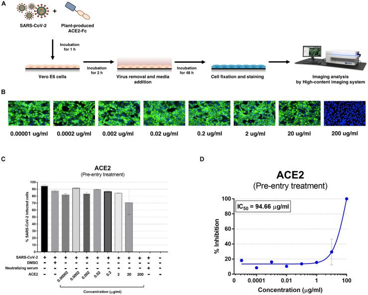 Dose-dependent effect of plant-produced ACE2-Fc on SARS-CoV-2 inhibition and neutralization at the pre-infection phase. Experimental design of plant-produced ACE2-Fc and SARS-CoV-2 mixture added to Vero E6 cells (at 25TCID 50 ) (A) . SARS-CoV-2 infection profiles in Vero E6 cells which were treated with eight concentrations of plant-produced ACE2-Fc (B) . Percentage of SARS-CoV-2 inhibition in Vero E6 cells, which were treated with eight concentrations of plant-produced ACE2-Fc starting with 200 μg/ml (C) . Efficacy of SARS-CoV-2 inhibition in Vero E6 cells, which were treated by eight concentrations of plant-produced ACE2-Fc (D) . The data were showed as mean ± SD of triplicates in individual concentrations.