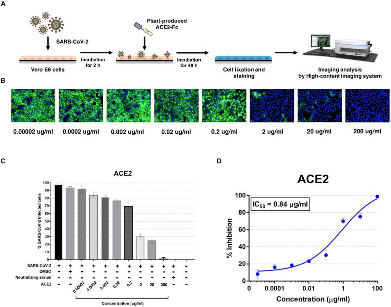 Dose-dependent effect of plant-produced ACE2-Fc on SARS-CoV-2 inhibition and neutralization at the post-infection phase. Experimental design of plant-produced ACE2-Fc and SARS-CoV-2 mixture added to Vero E6 cells (at 25TCID 50 ) (A) . SARS-CoV-2 infection profiles in Vero E6 cells which were treated with eight concentrations of plant-produced ACE2-Fc (B) . Percentage of SARS-CoV-2 inhibition in Vero E6 cells, which were treated with eight concentrations of plant-produced ACE2-Fc starting with 200 μg/ml (C) . Efficacy of SARS-CoV-2 inhibition in Vero E6 cells, which were treated by eight concentrations of plant-produced ACE2-Fc (D) . The data were showed as mean ± SD of triplicates in individual concentrations.